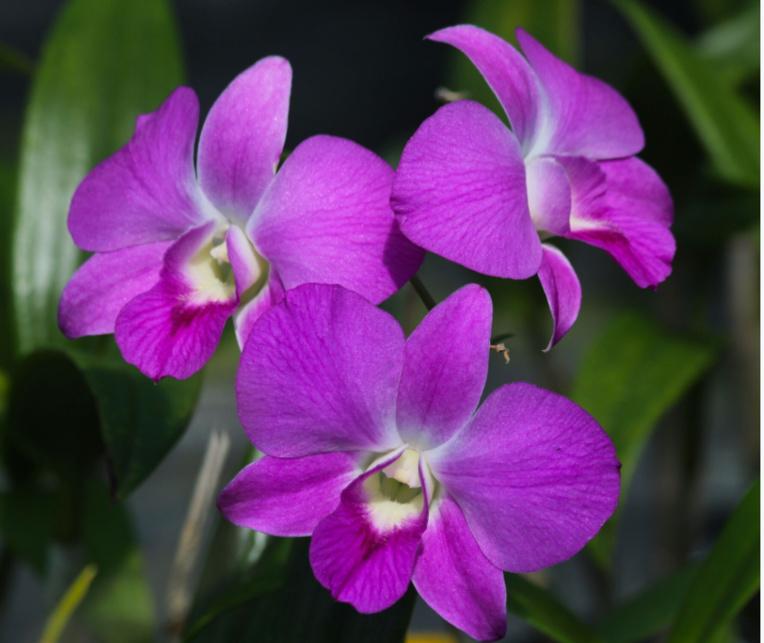 Beau dendrobium hésitant entre le rose et le violet.