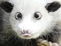 Heidi-l'opossum-qui-louche va jouer les oracles pour les Oscars