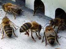 Canada: mort mystérieuse de 20.000 abeilles au Musée royal de l'Ontario