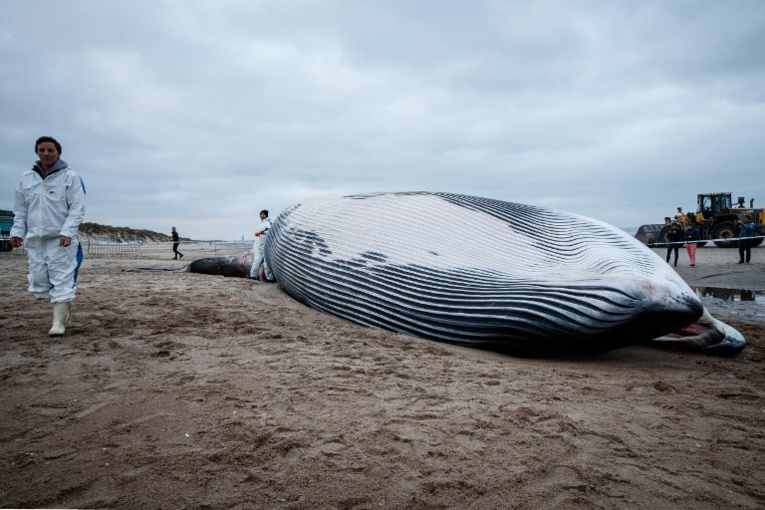 Une baleine de 18 mètres s'échoue sur la côte belge