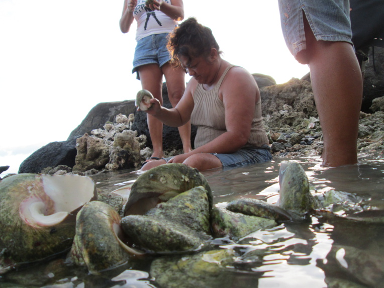 La pêche aux trocas bientôt ouverte à Paea, Papara et Teva i Uta