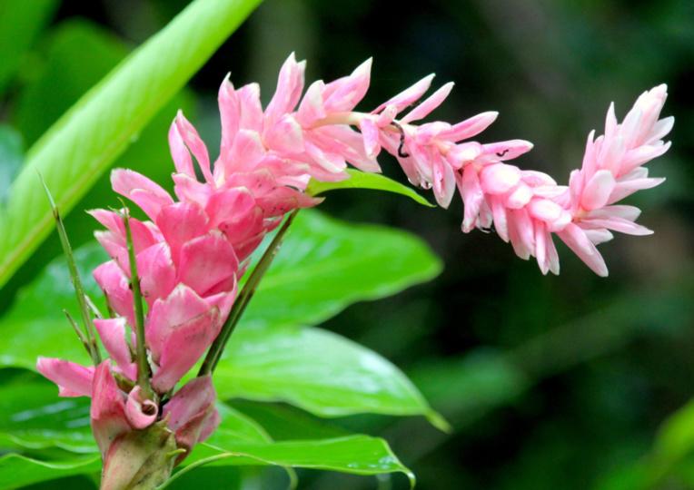 Les opuhi (Alpinia pupurata var.) sont omniprésents tout au long de la montée au lac.