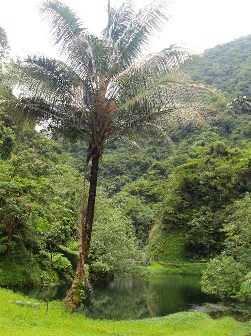 Un cocotier peut-être pas très à l'aise dans une telle humidité.