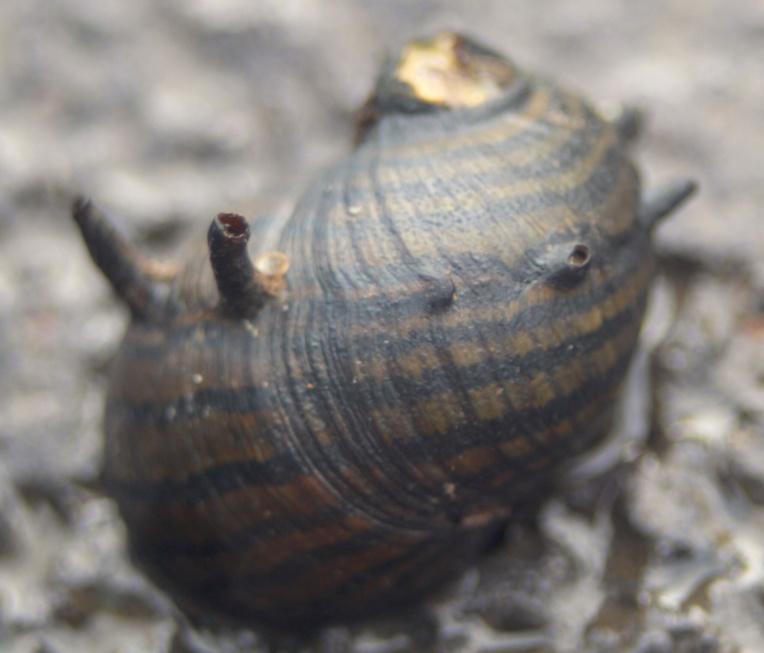 La rivière regorge de petits mollusques ; parmi eux, les clythons, reconnaissable aux « cornes » que leur coquille arbore.