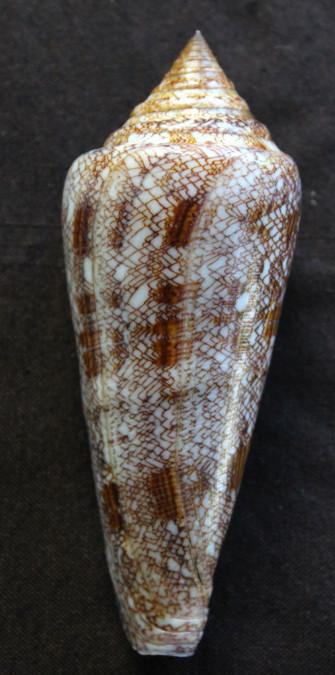 Conus gloriamaris, le coquillage qui valait son poids d'or jusqu'en 1957 (collect. DP).