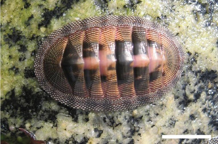 Le chiton « cumingsii » fut le premier mollusque décrit et nommé en l'honneur de Cuming, qui en avait étudié les mœurs dans la baie de Valparaiso.