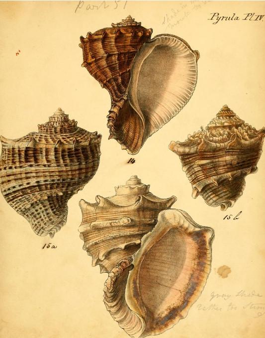 Très belle planche de « Conchologia iconica » de Reeve.
