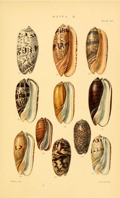 Une magnifique planche d'olives, extraite du livre de Sowerby, « Thesaurus conchyliorum » publié en 1842.