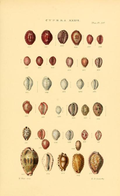 Les porcelaines (ici une planche du livre « Thesaurus conchyliorum ») demeurent aujourd'hui les coquillages les plus prisés des collectionneurs du monde entier.