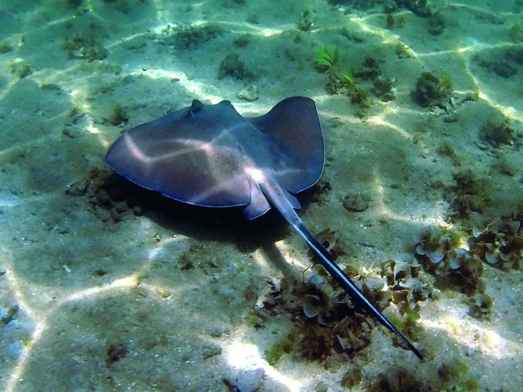 Australie: décès d'un nageur probalement victime d'une raie