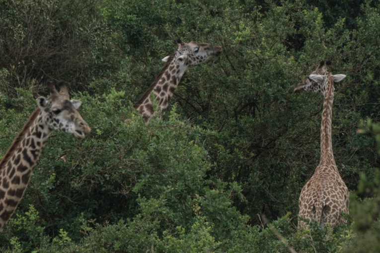 Niger: délocalisation de girafes menacées dans le sud-ouest nigérien