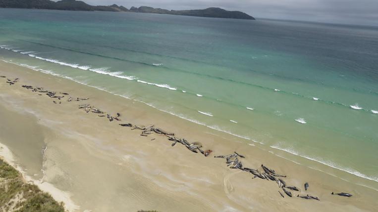 """Près de 150 """"dauphins pilotes"""" meurent sur une plage néo-zélandaise éloignée"""