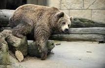 Russie: il voulait passer la frontière avec un ours dans sa Renault Kangoo