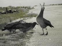 L'Albatros à pattes noires est menacé d'extinction