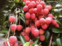 Le litchi, trésor rouge de Tubuai