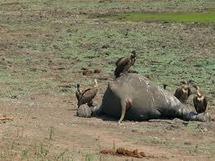 Sierra Leone: enquête sur la mort en série d'hippopotames