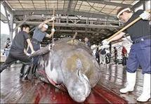 Japon: des pêcheurs d'un village dévasté reprennent la chasse à la baleine