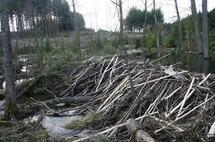 Canada: un déversement de pétrole endigué par un barrage de castors