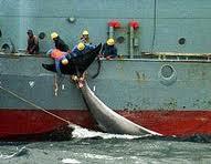 Le dossier des baleines devant la Cour internationale de Justice de La Haye