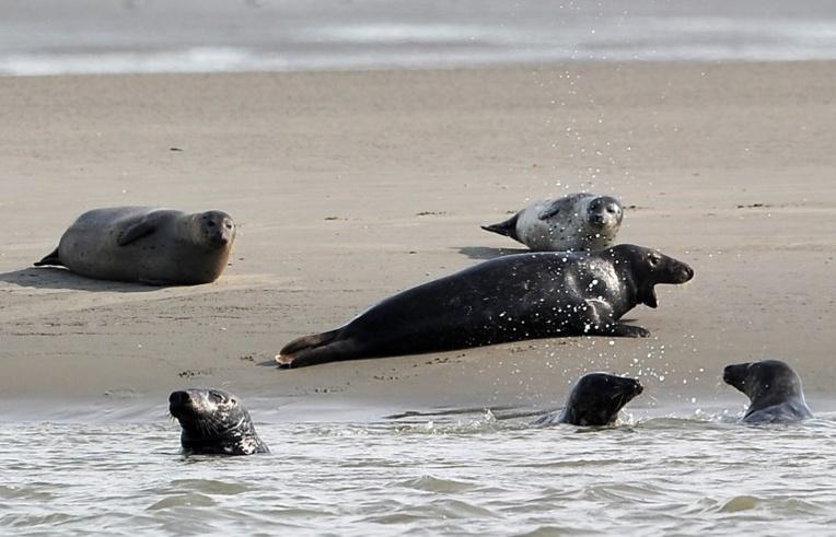 Canada: un village appelle à l'aide face à une invasion de phoques