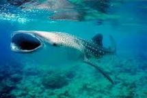 Egypte: un jeune requin-baleine retrouvé dans le canal de Suez