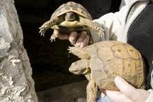 Les tortues d'aquarium au secours des tortues de mer