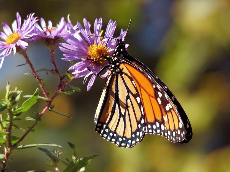 Aux Etats-Unis, les papillons, improbables victimes d'un mur à la frontière