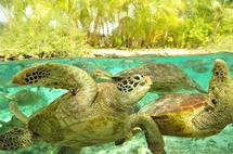 Zoom sur le centre de protection des tortues marines de Bora Bora