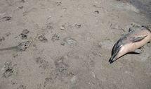 La marée noire à l'origine de la mort de dauphins dans le golfe du Mexique