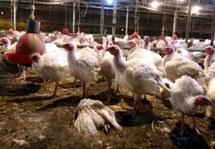 Arsenic dans les poulets : Pfizer cesse de vendre le Roxarsone aux USA