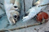 Pêche: à partir du 14 juin la France mangera du poisson étranger
