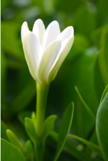 Ça y est, le bouton floral s'ouvre et le tiare répand son parfum alentour.