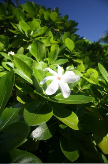 Un buisson de tiare en plein soleil ; la plante  a besoin d'une forte luminosité.