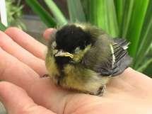 Les oisillons tombés du nid ne sont pas tous en danger (LPO)