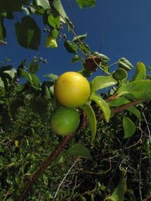 Ximenia americana var. americana Fruits 2 Pointe Paopao Bora Bora