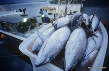 Stocks de thonidés : l'UICN tire la sonnette d'alarme