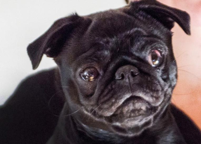 Une famille endettée? Sa chienne est saisie et vendue sur eBay