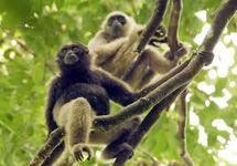Nouvelle colonie de gibbons découverte au Vietnam