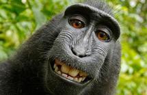 Un singe vole un appareil photo et se tire un splendide autoportrait