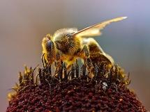 Mortalité des abeilles: Syngenta se défendra contre toute allégation