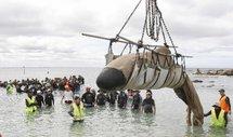 Un baleineau échoué sur la plage reprend le large mais sans sa mère