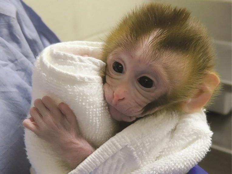 Un bébé singe montre la voie pour contourner la stérilité d'enfants après un cancer