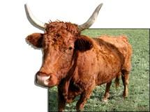 En Bavière, une vache évadée mise à prix 10.000 euros...