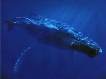 En Californie, les baleines doivent se frayer un passage entre les tankers