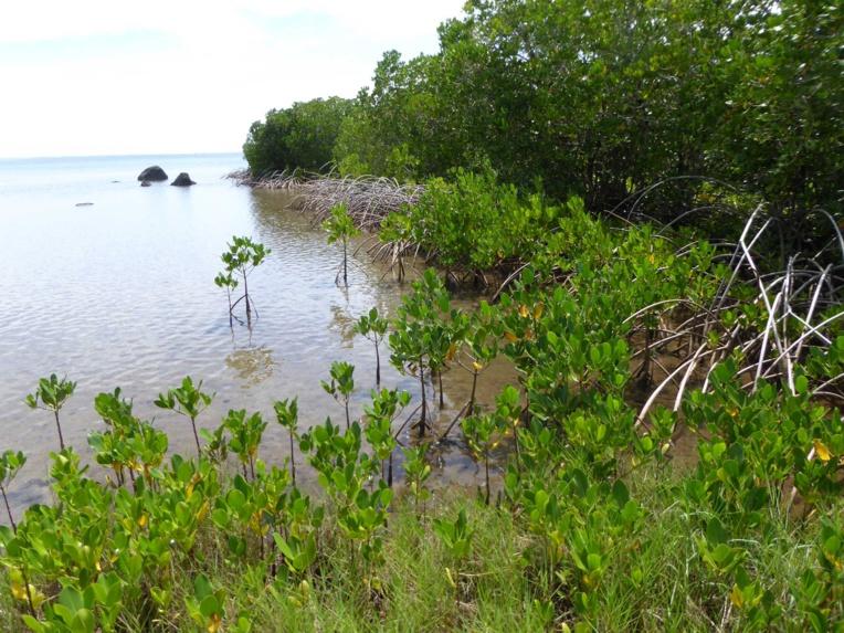 La mangrove n'existait pas en Polynésie française avant l'introduction du palétuvier Rhizophora stylosa sur l'île de Moorea dans la première moitié du XXe siècle.