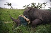 Le massacre des rhinos sud-africains touche désormais les réserves privées