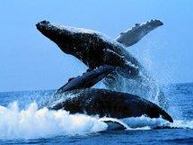 Un arrêté pour protéger les mammifères marins, annonce NKM