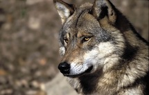 Une femme mordue par un loup qu'elle gardait chez elle parmi 85 animaux