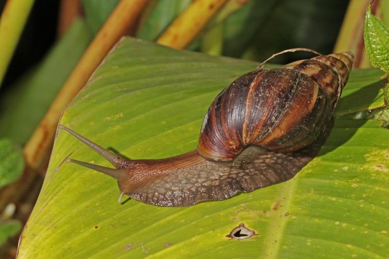 C'est l'utilisation de têtes de chevrettes crues pour faire fermenter le coco rapé qui est à l'origine de la plupart des cas de méningite à éosinophile chez les adultes. Par contre les enfants, les plus vulnérables, l'attrapent souvent en jouant avec les escargots.