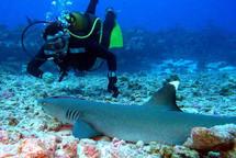 Une substance produite par les requins pourrait combattre certains virus